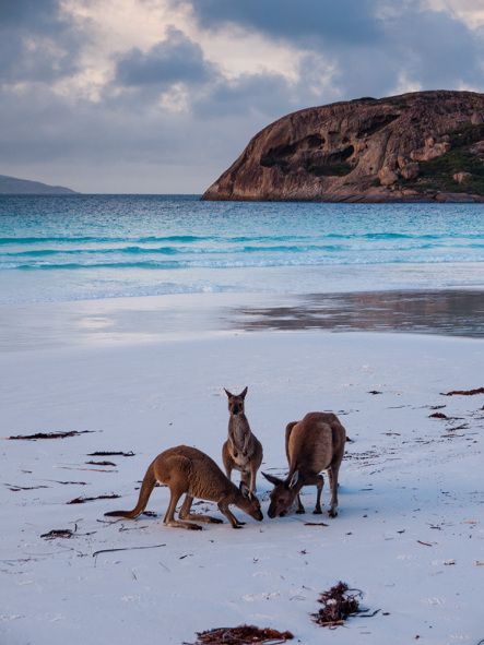 Kangaroos on the beach, Lucky Bay, Cape Le Grand National Park, http://www.bloggerme.com.au/states/nyabing Australia
