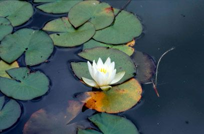 Nymphaea alba (White Water Lily) | Height: 10cm Spread: 1-1.5m