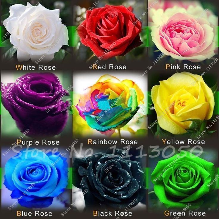 Hot Sale Promotion Very Easy Dishes Seeds Vegetables free Shipping 9 Kinds of Hybrid Seeds of Roses Rainbow Seed 200 Piece
