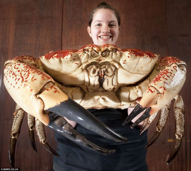 15-pound Monster Tasmanian Crab taken to a British aquarium instead of an industrial-size steamer.: Animals, Tasmanian Giant, Monster Tasmanian, King Crab, Tasmanian Crab, Sea, Tasmanian King, Crabs