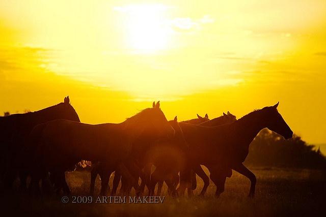 Horses at sunset.: Beautiful Horses, Photo