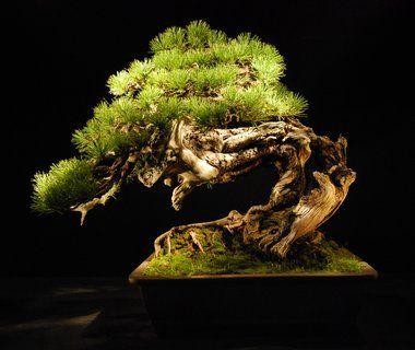 Bonsai Haus 115 best bonsai images on bonsai bonsai trees and nature