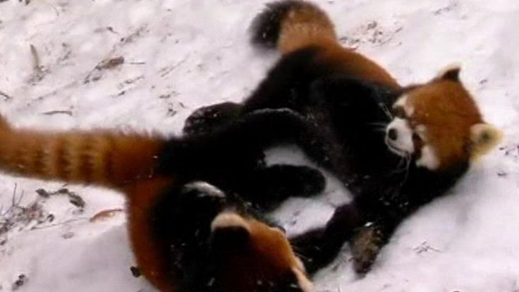 Red panda cubs Harriet and Hazel see the snow for the first time at their Cincinnati Zoo and Botanical Garden home.
