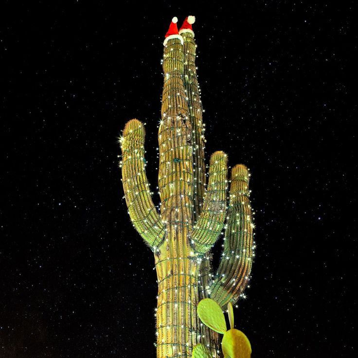 Oh Christmas Tree Oh Christmas Tree Two decorated Saguaros (raycleveland.com) Still Life December 12 2016 at 09:22AM #photography