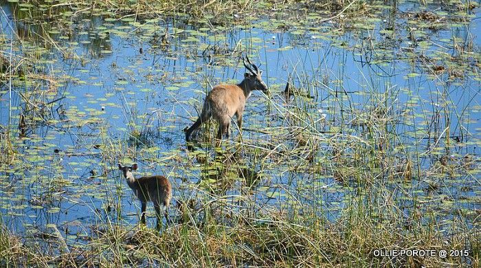 Amazing and rare sighting of an adult sitatunga with its young at Mombo #Okavango #safari #aerial