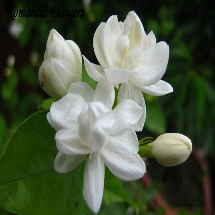 Trasporto Libero Semi di Gelsomino Bianco, Pianta profumata Arabian Fiore di Gelsomino Seme 20 Particella/bag(China (Mainland))