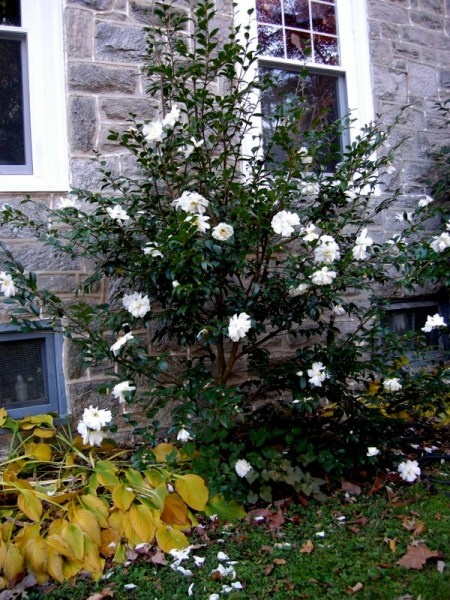 winter's snowman-Camellias...fall bloomers