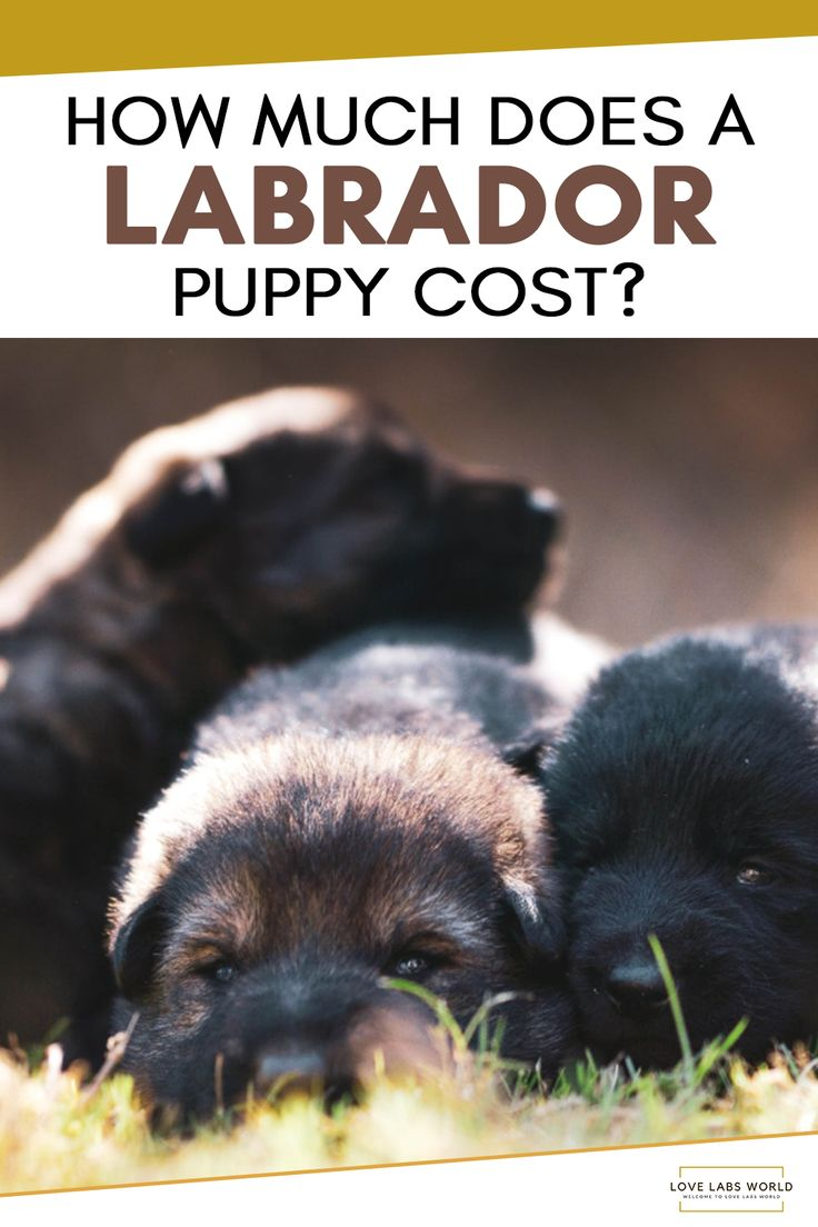 HOW MUCH DOES A LABRADOR PUPPY COST? en 2020