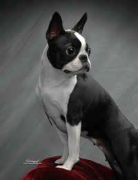 Boston Terrier Here is why I love Boston Terrier