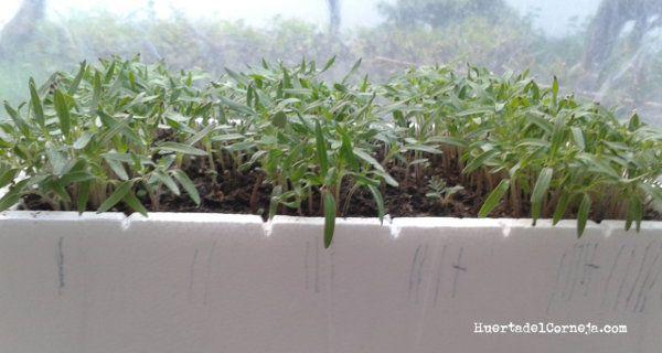 Tomates creciendo