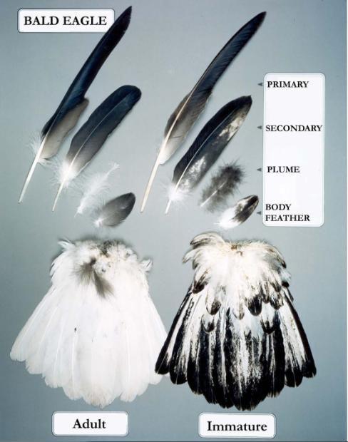 bald eagle feather types