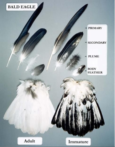 bald eagle feather types