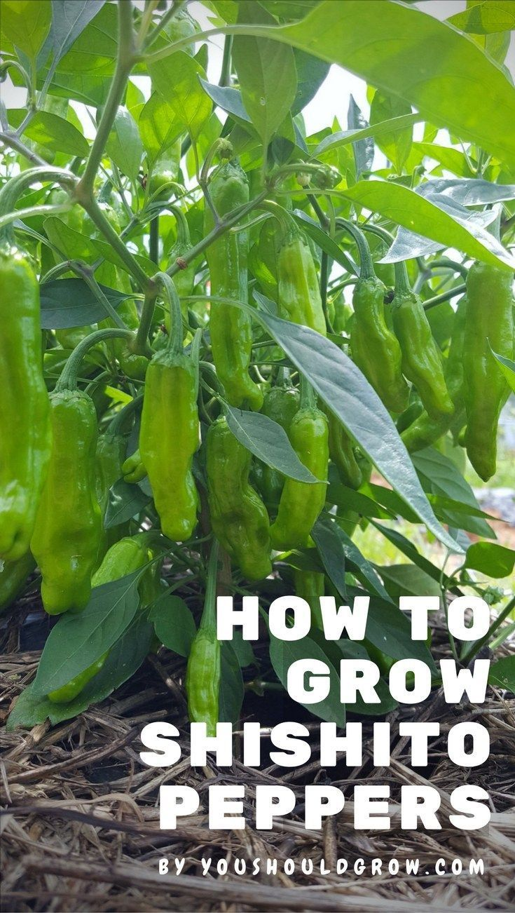 Planting peppers for seedlings in 2018: how and when to plant peppers for seedlings 94