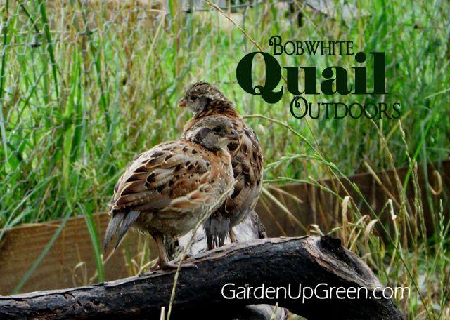 17 best images about quail farming on pinterest bobs