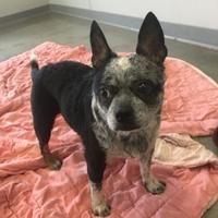 Fort Dodge, Iowa - Boston Terrier. Meet Sophie Ann, a for adoption. https://www.adoptapet.com/pet/19697701-fort-dodge-iowa-boston-terrier-mix