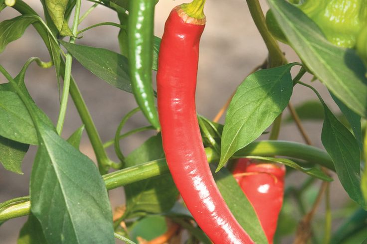 Varsti peab tšillipipra seemned mulda pistma. Milliseid sorte valida, kuidas taimi ette kasvatada?