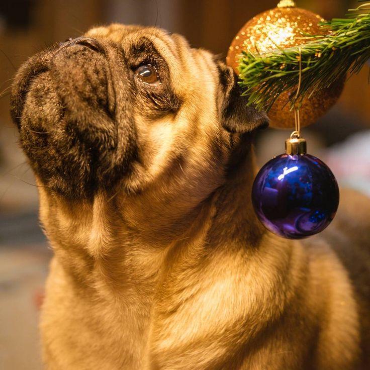 Getting into the Christmas Spirit  #mauricethepug #bubble #iulianmarcu #queenb #christmas #christmasspirit #marrychristmas #december #santa #santaclaus #winter #winterholidays #romania #tirgumures #puglife #pugchat #pugstory #pug #mops #dog #puppy