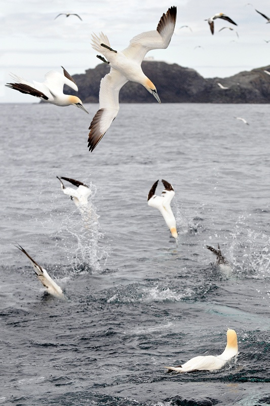 Google Image Result for http://www.lerwickselfcatering.com/assets/images/enlargeable/Brydon-Thomason-North-Isles-Cruise-Gannets.jpg