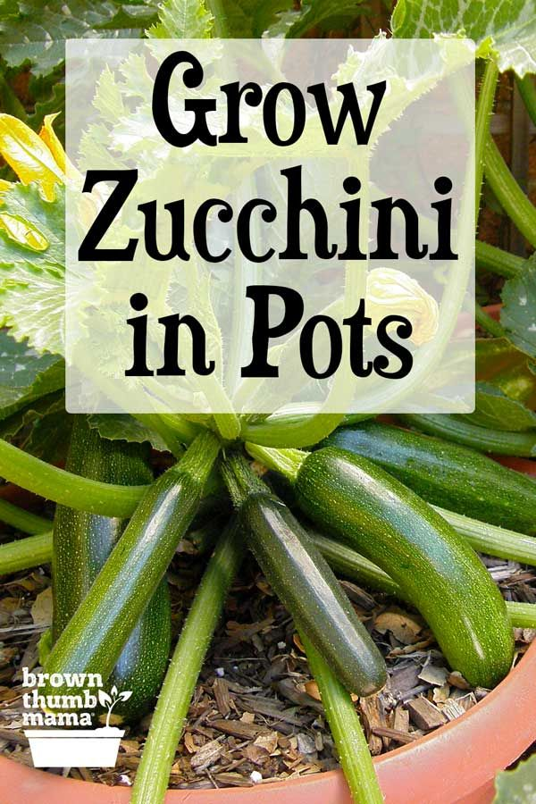 How To Grow Zucchini In Containers In 2020 Growing Zucchini Growing Cucumbers Zucchini Plants
