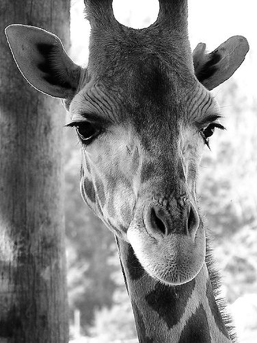 Black and white beauty! Make sure you read about the new baby giraff at the Santa Barbara zoo!