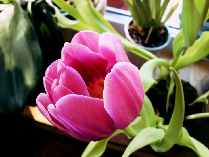 The most beautiful tulip! #lila #flower #tulip