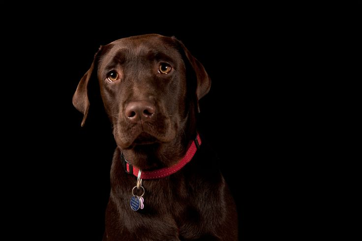 Lindt - Labrador Retriever All images © www.thebeingproject.co.za
