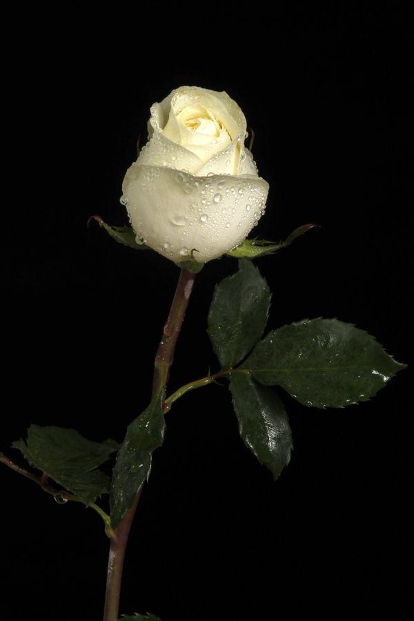 White Rose  Cultivo una rosa blanca  En Julio como en Enero  Para el amigo sincero  Que me da su mano franca  Y para el cruel que me arranca  El corazón con que vivo  Cardo ni ortiga cultivo  Cultivo una rosa blanca    José Martí