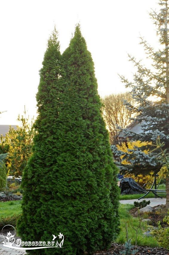 Туя западная – какую красавицу посадить на даче? Зимостойкие, быстрорастущие, золотистые и другие сорта, также шаровидная туя и…