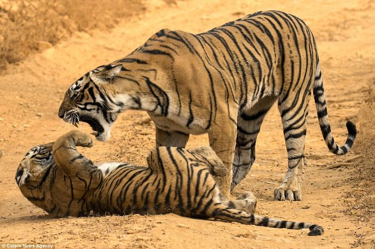 A tigress scolds one of her naughty cubs in Ranthambore national park, Rajasthan, India
