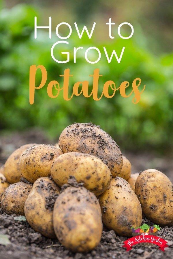 How To Grow Potatoes At Home Potato Gardening Growing
