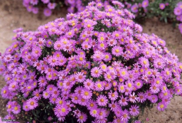 76 best images about perennials in my garden on pinterest for Perennial wood