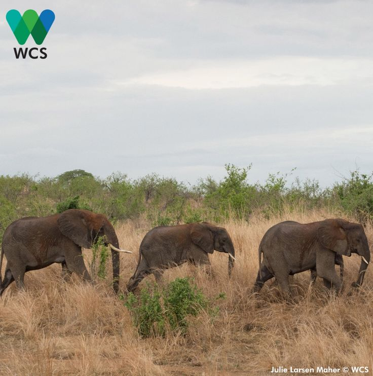 The greatest challenge to African elephants today is illegal killing to feed the ivory trade.The WCS strives to stop the killing, stop the trafficking, and stop the demand. #thewcs #standforwildlife #parulina #hangingong #africanelephants