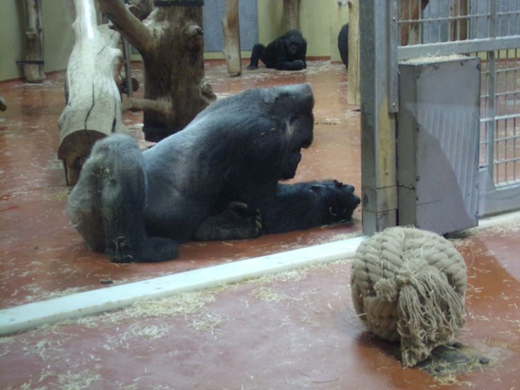 The 35 yo Golo (or Papa) at the Budapest Zoo, Silverback Western Lowland Gorilla (behind Mama or Liesel)