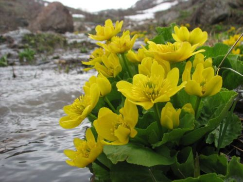 Will grow in boggy conditions or on a marginal shelf to approx 6 inches water depth.. This giant variety of marsh marigold originates from Asia. The leaves can grow up to 12 inches across and the flowers up to 2 inches in diameter. Due to its size, best suited for larger ponds.   Growing height: 36 inches.