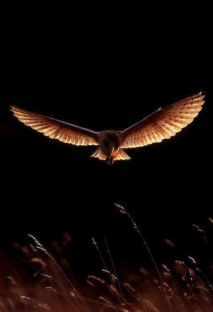 Sunlight on owl (unknown)