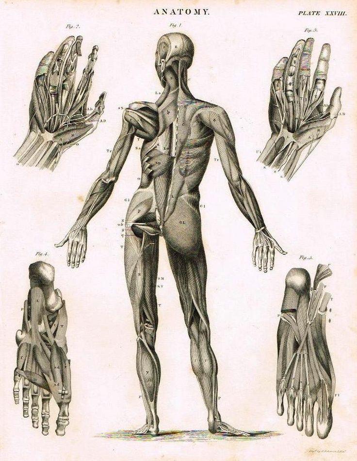 20 besten Human Anatomy Bilder auf Pinterest | Menschliche anatomie ...