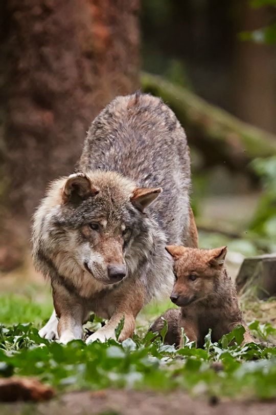 A Female Wolf ~ With Her Young Pup.