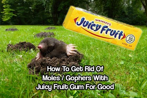 How To Get Rid of Moles / Gophers With Juicy Fruit Gum. This may sound crazy but by all accounts it works better than pest control. Check out the tutorial.