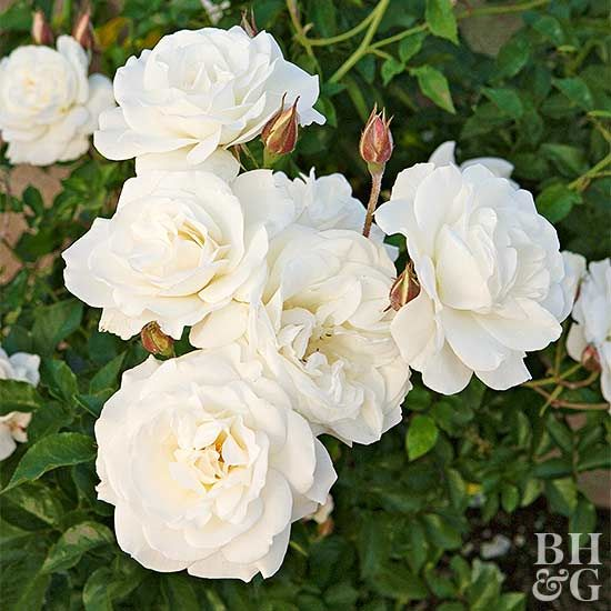 The two most important things that get your roses off to a great start are to make sure they're in the right growing conditions and to plant them properly.