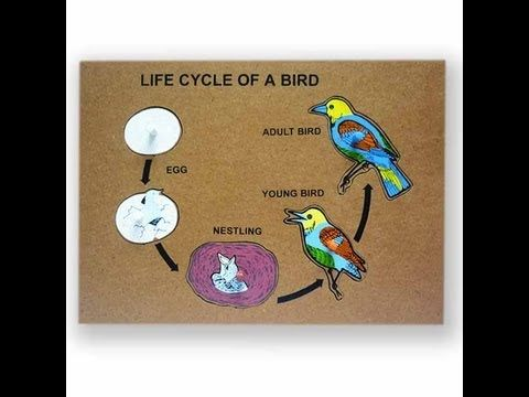 Bird Life Cycle Video for Kids -Science for Kids by makemegenius.com