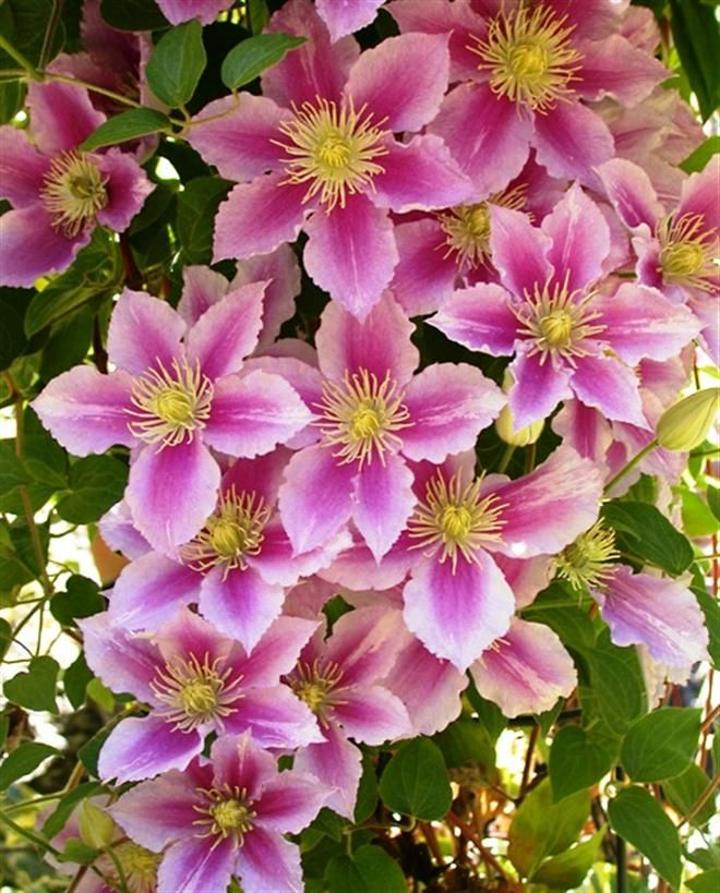 Little Duckling clematis