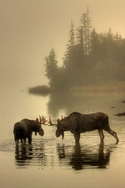 Moose Point- Face Off by Carl TerHarr