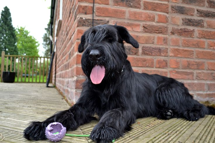 Pictures Of Giant Schnauzer Dogs