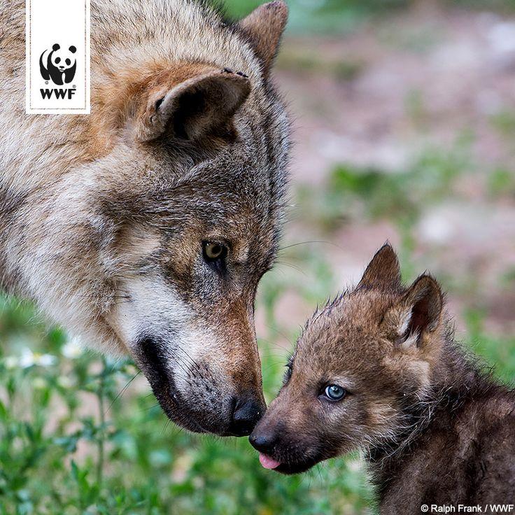 Der Wolf lebt gefährlich bei uns in Deutschland: Insgesamt wurden bei uns in diesem Jahr schon 16 getötete Wölfe gefunden. Das sind mehr als im ganzen Jahr 2012 oder 2013.