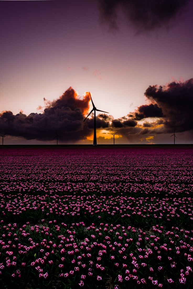 Darkness falls - Just after sunset and darkness is coming over a field of tulips!
