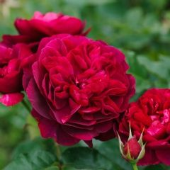 "David Austin Roses~ ""Darcy Bussell"" - The blooms are upright facing and are held in small clusters. Their color is rich crimson, often with attractive hints of mauve as the blooms age. This rose will remain bushy and compact even in the warmest areas."