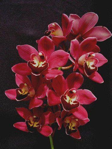 Cymbidium Black Silk orchid seedling, a dark, dark red - http://yourflowers.us/cymbidium-black-silk-orchid-seedling-a-dark-dark-red/