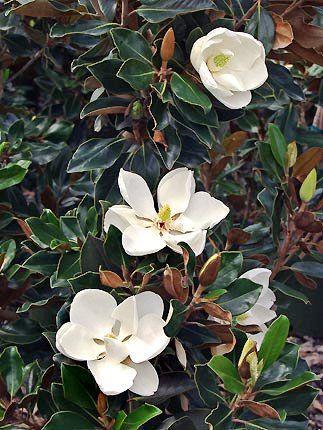 he Magnolia grandiflora 'Little Gem' -