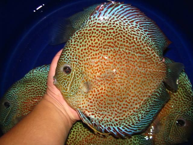 Photo Gallery Of Discus Fish Live Tropical Fish Live Tropical Fish Discus Fish Fish Gallery Discus