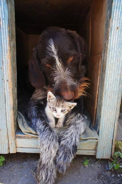 German Wirehair pointer with his buddy, practically perfection! LOVE IT.